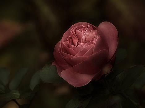 Romantic Autumn Rose by Richard Cummings