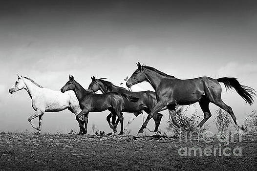 Dimitar Hristov - Romantic Horses Black and White