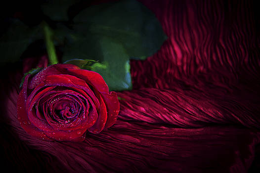 Romantic Rose by Daphne Sampson