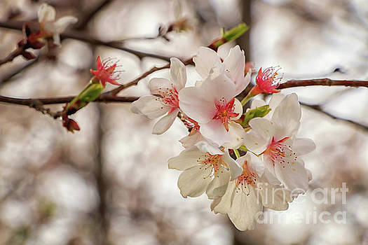 Roosevelts Apple Blossoms by Elizabeth Dow