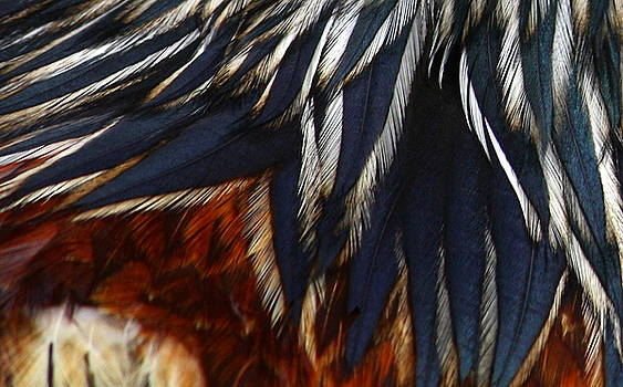 Anne Babineau - rooster feathers