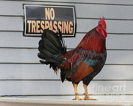 Rooster Guarding a Key West Porch by Catherine Sherman