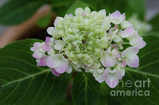 Rooted Hydrangea by Dale Powell