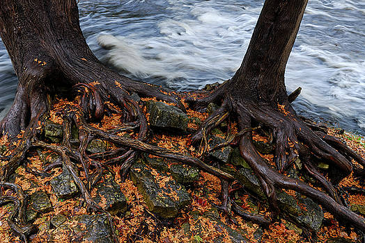 Reimar Gaertner - Roots of two Cedar trees roots aroung rocks by river rapids in F
