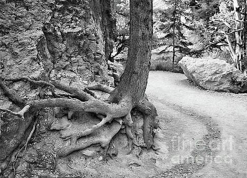 Chuck Kuhn - Roots Tree Bryce BW