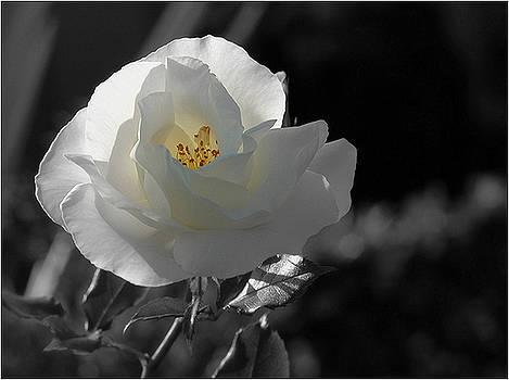 Rosa Blanca 3 by Mirza Ajanovic