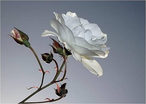 Rosa Blanca by Mirza Ajanovic