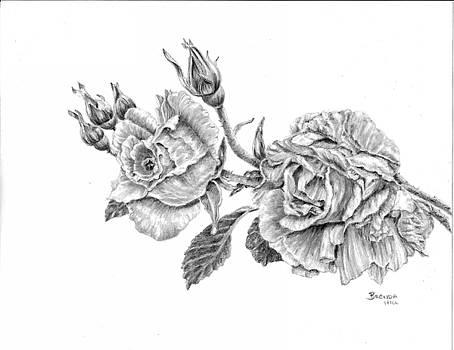 Rosa by Brenda Hill