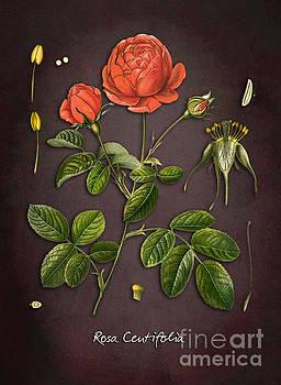 Justyna Jaszke JBJart - Rosa Centifolia
