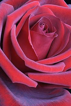 Rose 03 by Nick Kurzenko