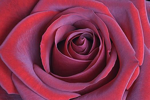 Rose 02 by Nick Kurzenko