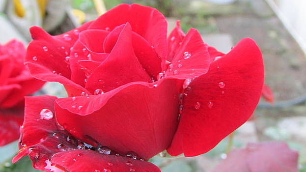 Rose After The Rain		 by Tambra Nicole Kendall