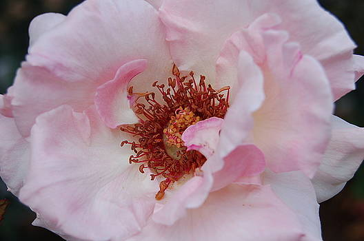 Rose Bonita by Patricia Thirion