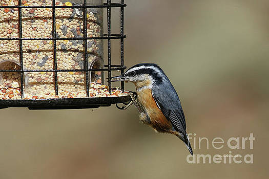 Deborah Benoit - Rose Breasted Nuthatch