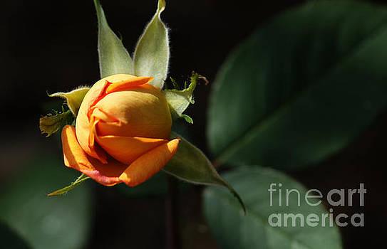 Rose Bud by Debra Crank