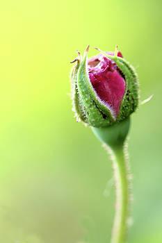 Mahesh Balasubramanian - Rose Bud