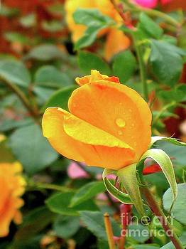 Rose Bud by Phyllis Kaltenbach