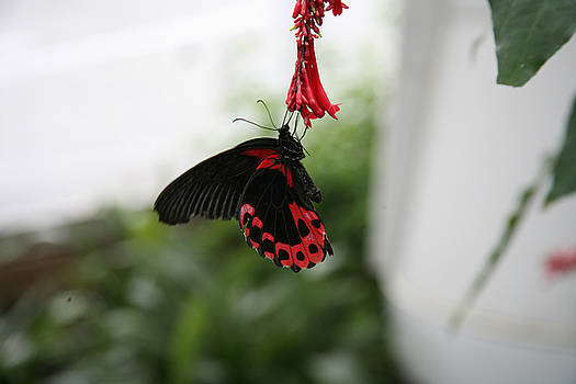Rose Butterfly  by Reni Boisvert