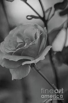 Rose BW by Tannis Baldwin
