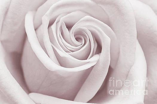 Rose by Cindi Ressler