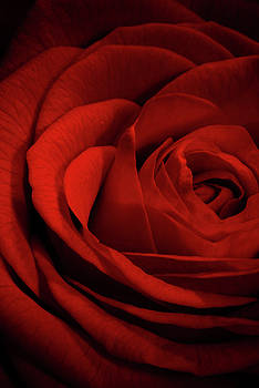 Rose by Claire Wilson