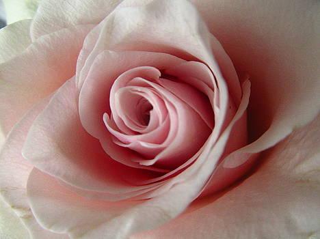 Rose - close up 2 by Galina Todorova