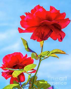 Rose by David Lane