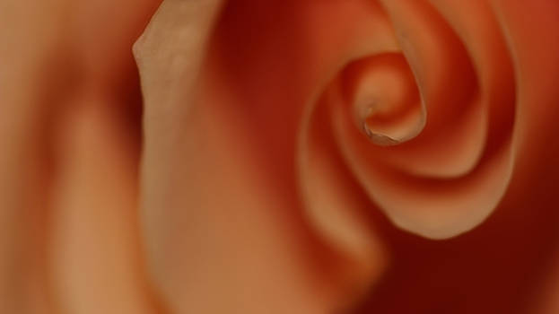 Rose by Denis Los