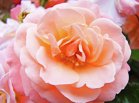 Baslee Troutman - Rose Floral art print Peach Pink Roses Garden canvas Baslee Troutman