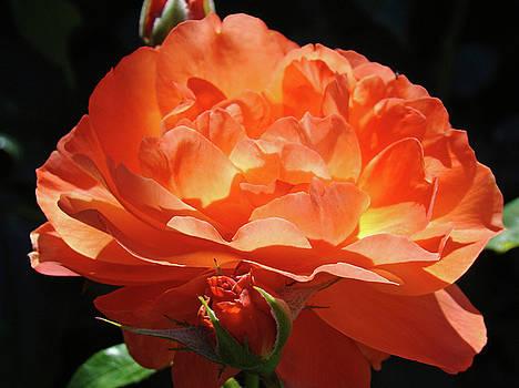 Baslee Troutman - ROSE FLOWER Art Prints Oragne Roses Summer Botanical Baslee Troutman