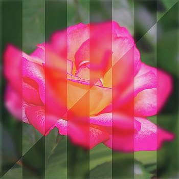 Rose flower from a new angle by R V James