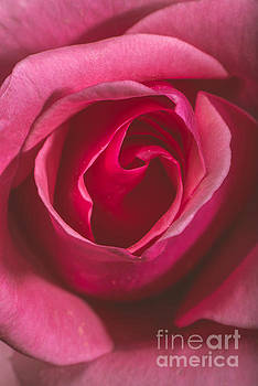 Rose flower macro by Deyan Georgiev