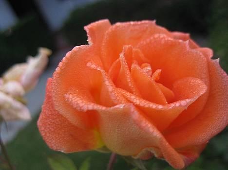 Rose Flower by Paul Sober
