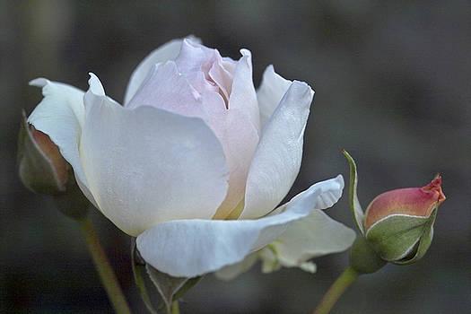 Heiko Koehrer-Wagner - Rose Flower Series 14
