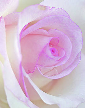 Rose from the Garden by Norman Drake