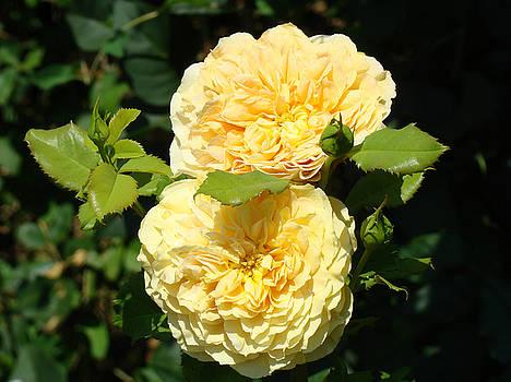 Baslee Troutman - Rose Garden Floral art print Yellow Roses canvas Baslee Troutman