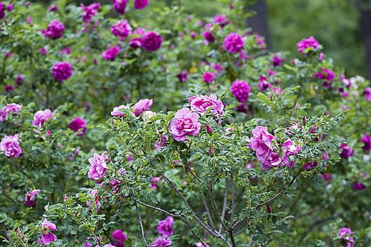 Frank Tschakert - Rose Garden