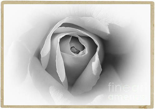 Rose - High Key by Stefano Senise