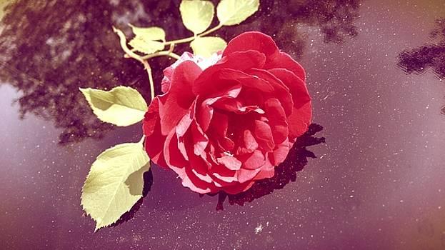 Rose II by Kevin D Davis