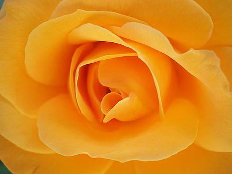 Rose in Bloom by Kim Blumenstein