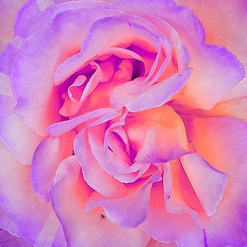 Colin Drysdale - Rose In Close Up