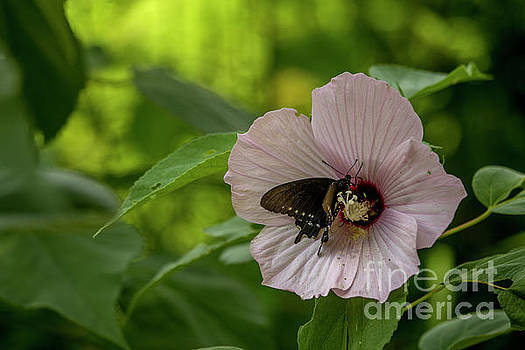Rose Mallow by Reva Dow