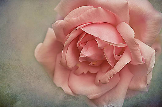 Rose New Dawn by Jacqi Elmslie