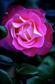 Rose Number 7 by David Millenheft
