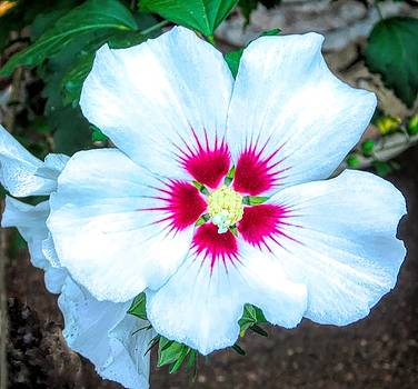 Rose of Sharon by Betsy Cullen