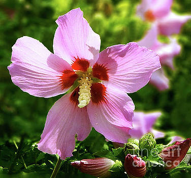 Rose of Sharon Flowers by Dave Nevue