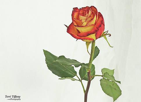 Rose on White by Terri Tiffany
