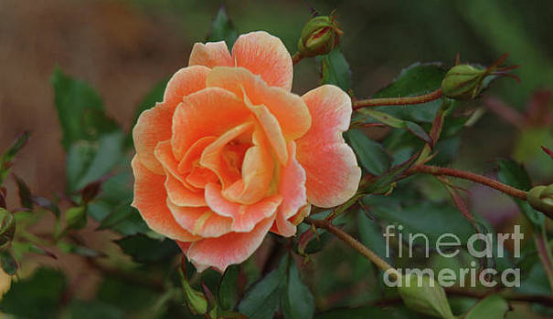 Dale Powell - Rose Petals