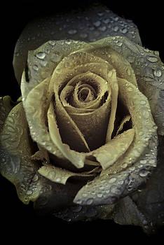 Rose Petals by Grebo Gray