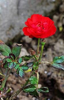 Rose plant by Khalid Saeed
